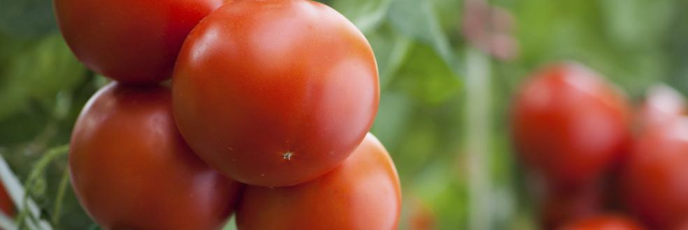 كل المعلومات عن الطماطم